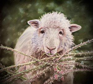 Sheep Brambles